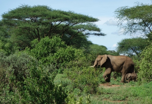 Elephants in Lake Manyara