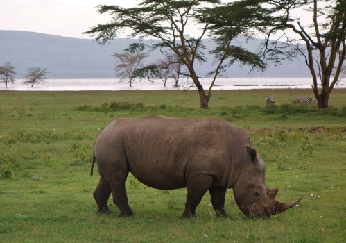 White Rhino Lake Nakuru