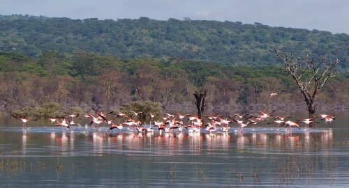 Flamingos Lake Nakuru