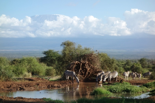 Zebras and Kili