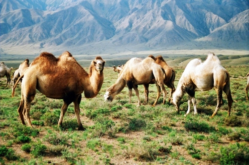 Asian Camels of the Silk Road