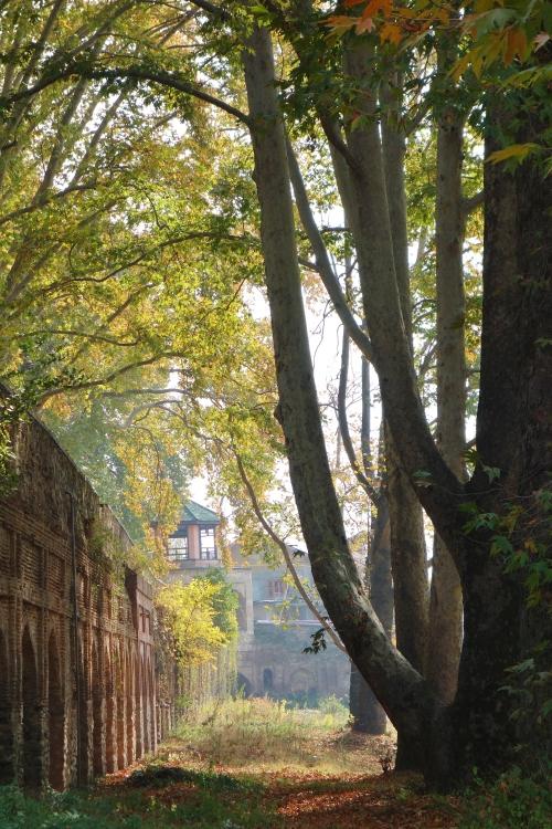 Chinar Trees Kashmir
