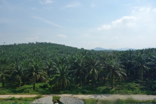 Passing through palm plantations
